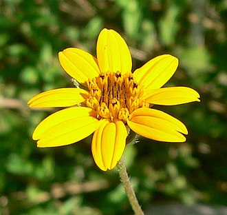 Wedelia acapulcensis - Wedelia acapulcensis var. hispida
