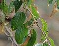 Ziziphus mucronata, loof en groen vrugte, Skeerpoort, a.jpg