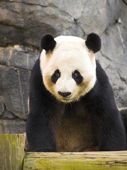 Zoo Atlanta Panda 2
