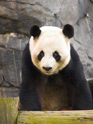 Zoo Atlanta - Zoo Atlanta panda