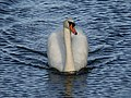 Zwaan in gracht in almere, Swan in canal in Almere - panoramio.jpg