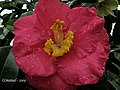 """Rosa"" de Camélia. (4251304081).jpg"