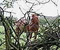 """Where's he gone"" Trying to graze, near Codsall, Staffordshire - geograph.org.uk - 396387.jpg"