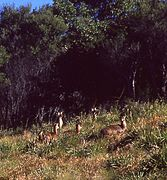 (1)deer North Era Royal NP-1.jpg