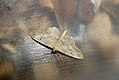 (1702) Small Fan-footed Wave (Idaea biselata) (3686024520).jpg