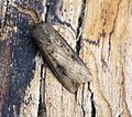 (2091) Dark Sword-grass (Agrotis ipsilon) (19104542043).jpg