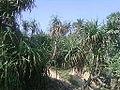 (Pandanus odoratissimus) thatch screwpine bushes near Bheemunipatnam 05.jpg