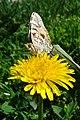 Бабочка на мать-и-мачехе (одуванчике).JPG