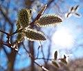 Весна, ива в цвету - panoramio (3).jpg
