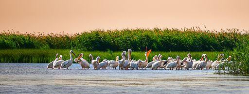 Вечеря пеліканів
