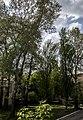Група вікових дерев тополі білої 10.jpg