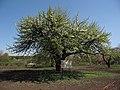 Дерево культурної груші 03.JPG