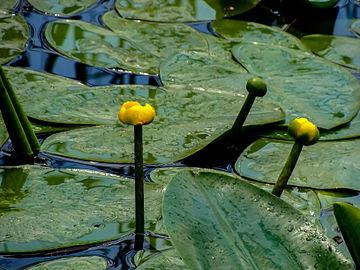 Жолт локван (Nuphar Luteum) 03.jpg