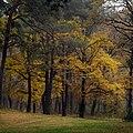 Золота осінь в Козлинському лісі.jpg