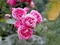 Санаторий им. М.В.Фрунзе. Розовые розы.jpg