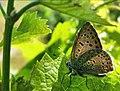 Синявець Бавій у сонячному світлі.jpg