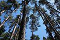 Сосновий парк Лохвиця 7.jpg