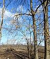 Цвітіння ліщини (лютий Вінничина).jpg
