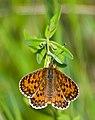 Шашечница тривия - Melitaea trivia - Lesser Spotted Fritillary - Braunlicher Scheckenfalter (32887113366).jpg