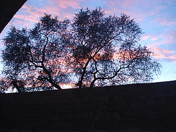 شجرة الاركان المميزة للمغرب.jpg