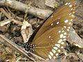 तितली -- Butterfly.jpg