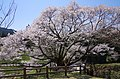 仏隆寺の「千年桜」 宇陀市榛原赤埴 Sen-nen-zakura 2013.4.13 - panoramio (2).jpg