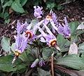 流星花屬 Dodecatheon integrifolium -比利時 Ghent University Botanical Garden, Belgium- (9198102065).jpg