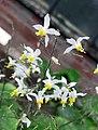 淫羊藿 Epimedium brevicornu -比利時 Ghent University Botanical Garden, Belgium- (9227116763).jpg