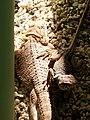環頸蜥 (右) Crotaphytus collaris (right) - panoramio.jpg