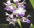 直立狐尾蘭 Rhynchostylis coelestis -香港沙田國蘭展 Shatin Orchid Show, Hong Kong- (9252404141).jpg