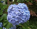 繡球花-手鞠手鞠 Hydrangea macrophylla 'てまりてまり' -日本廣島縮景園 Hiroshima Shukkeien Garden, Japan- (34952215974).jpg