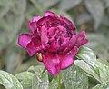 芍藥-魯荷紅 Paeonia lactiflora 'Shandong Lotus Red' -瀋陽植物園 Shenyang Botanical Garden, China- (12403731875).jpg