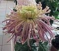 菊花-欖山明珠 Chrysanthemum morifolium 'Pearl of Xiaolan' -香港圓玄學院 Hong Kong Yuen Yuen Institute- (11980299833).jpg