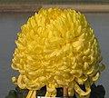 菊花-駿河之酒仙 Chrysanthemum morifolium 'Fairy Drinker' -中山小欖菊花會 Xiaolan Chrysanthemum Show, China- (12115917514).jpg