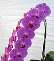 蝴蝶蘭-羅曼史 Phalaenopsis Ming-Hsing Eagle -香港花展 Hong Kong Flower Show- (33564975382).jpg