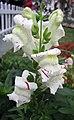 金魚草 Antirrhinum majus Bizarre Hybrids -香港花展 Hong Kong Flower Show- (25714060112).jpg