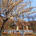 青梅街道-梅-01 - panoramio.jpg