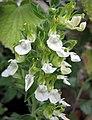 香科科屬 Teucrium flavum -哥本哈根大學植物園 Copenhagen University Botanical Garden- (37042522815).jpg