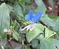 鴨跖草 Commelina communis -杭州梅家塢 Hangzhou, China- (9198182853).jpg