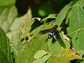 ... fly -- bee-fly (4000521215).jpg