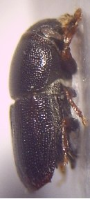 01a Scolytus multistriatus Imago 20fach rechte Seite