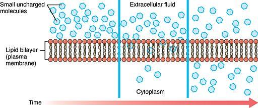 0305 Simple Diffusion Across Plasma Membrane