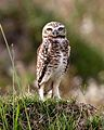 060401 burrowing owl a IB - Flickr - Lip Kee.jpg
