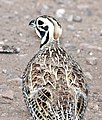 072 - MONTEZUMA QUAIL (8-22-2015) harshaw rd, santa cruz co, az -08 (20798549955).jpg