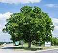 082 2015 05 26 Zwei Walnussbäume (Wiki Loves Earth 2015).jpg
