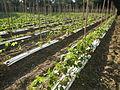 09656jfSan Rafael Bulacan Chapel Diliman Paddy Vegetable Fields Roadsfvf 17.JPG