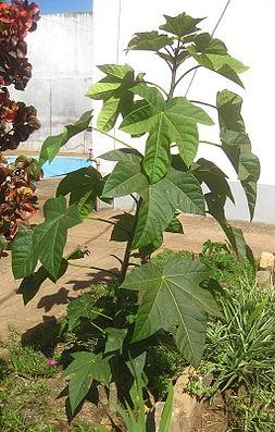 Planta monoica unisexual nouns