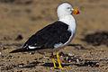 1291 Pacific Gull.jpg