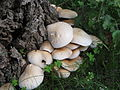 2010-10-22 Agrocybe cylindrica (DC 1815 - Fr.) Maire 1938 113770.jpg
