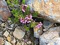 20130702 31 Wildflowers @ Angel Glacier (12095523224).jpg